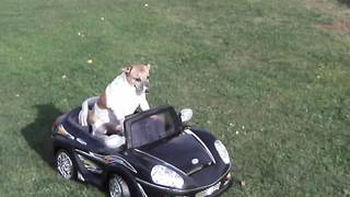 A Dog Rides In A Power Wheels Toy Car - Video