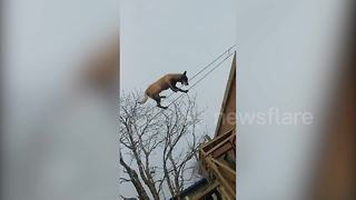 Trainer teaches dog to walk tightropes