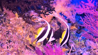 Beautiful bannerfish swim gracefully through the depths on the coral reef