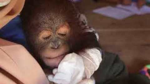 'Subdued and Listless' Baby Orangutan Rescued From Tiny Wooden Cage