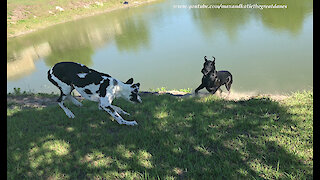 Playful Great Danes Love to Pounce and Bounce Together