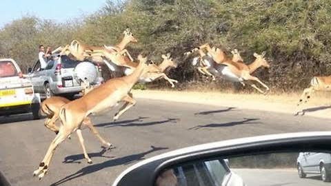 Cheetahs Chase Impala Antelope Into Tourist's Car On Safari