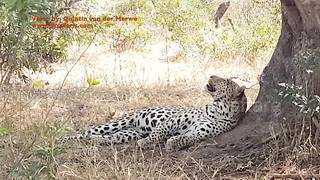 Leopard spotted fighting with a... fly - Video
