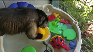 Capuchin monkey helps do the dishes - Video