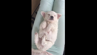 Adorable 3-Week-Old Puppy Sleeps With Paws In The Air