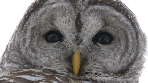Couple unintentionally captures video of their own reflection in wild owl's eyes