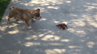 English Bulldog puppy takes on robot spider - Video