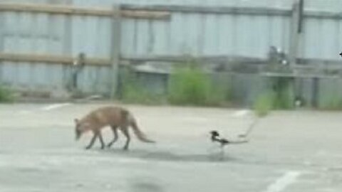 Just a magpie and a fox being best friends together