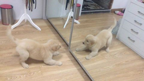 Golden Retriever puppy plays with mirror reflection