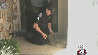 OFFICER CAPTURES GATOR - Video