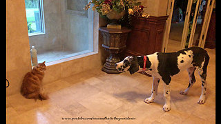 Funny Cat Stares Down Talkative Great Dane Puppy