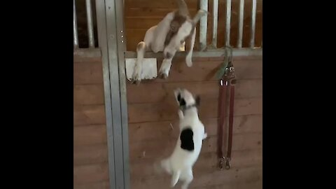 You won't believe how much this dog loves her goats