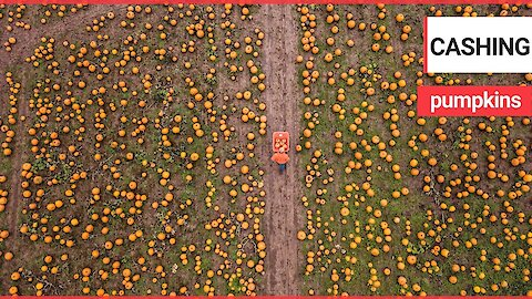 Footage shows UK's largest pumpkin farm which started when teen started growing them as a hobby