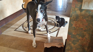 Great Dane plays with cat in a box