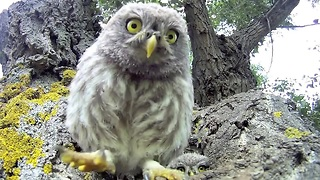 Curious Baby Owls Investigate Camera Lens - Video