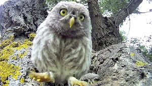 Curious baby owls investigate camera - Video