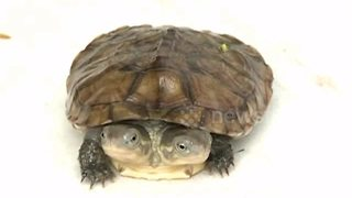 Rare mutant turtle with two heads filmed on Chinese farm - Video