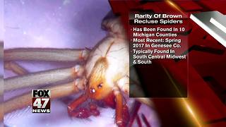 Pest company offers $300 for recluse spider - Video