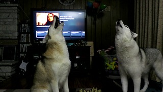 Huskies interrupt TV show with epic howling session - Video