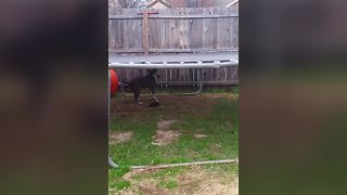 Dog Struggles With The Trampoline - Video
