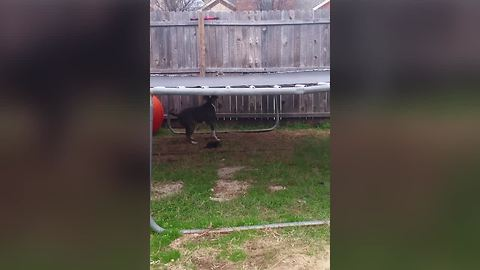 Dog Struggles With The Trampoline