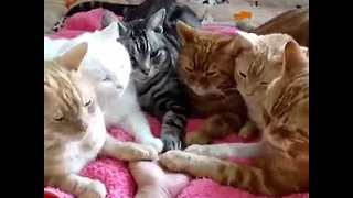 Cuddly Cats Create Circle of Trust - Video