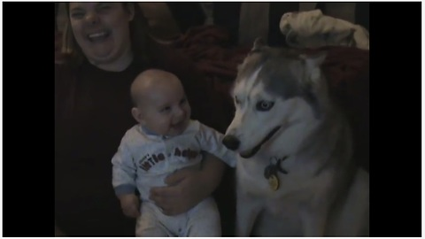 Baby cracks up every time his husky