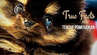 True facts about the Teacup Pomeranian