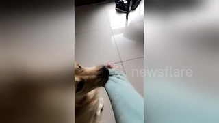 Bruce the dog hates it when his owner goes to work - Video