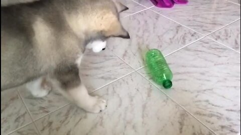 Adorable husky puppy doesn't trust the water bottle