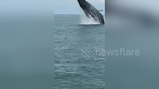 Amazing tourist boat encounter with humpback whale