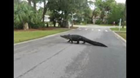 King Arthur the Alligator Makes an Appearance in Beaufort, South Carolina