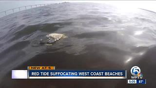 Red Tide suffocating Florida west coast beaches - Video
