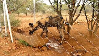Young rescued Wild Dog behaves like a domestic dog