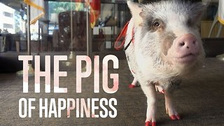 Animal Therapy: Meet Lilou the Pig
