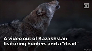 "Hunters Learn Painful Lesson After Kicking ""Dead"" Wolf - Video"