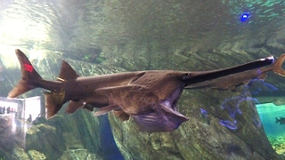 Bizarre prehistoric paddlefish has a super ability - Video