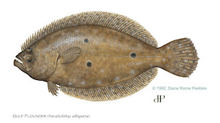 FWC implements new regulations for flounder
