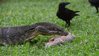 Monitor lizard devours fish as crows try to get a piece - Video