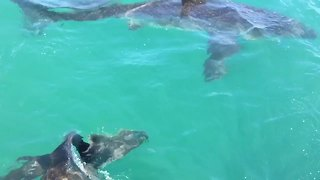 Lucky seal miraculously escapes death in close encounter with great white shark