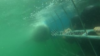 Moment out of 'Jaws' as Great White Shark tries to bite through underwater cage - Video
