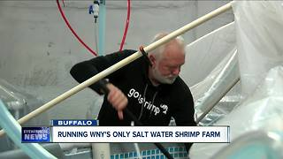 A look inside Buffalo's first salt water shrimp farm - Video