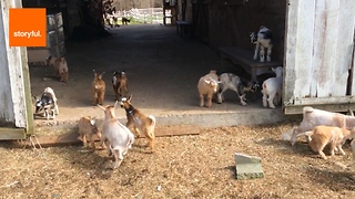 The Sunflower Farm Creamery is a Haven for Little Critters - Video
