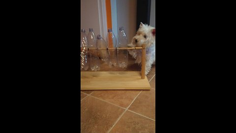 Westie Figures Out How To Solve Puzzle For Treats