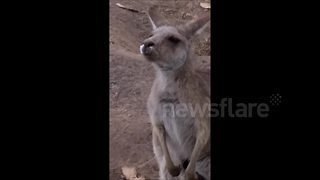 Sneezing Fit Leaves Unfortunate Kangaroo With A Runny Nose - Video