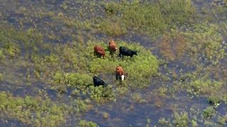 Cows dead, more at risk from flooded ranch