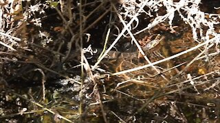 Southern Water Snake Slithering Through Swamp