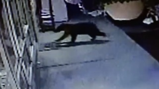 Bear Attempts to Break Into a Hardware Store in Grand Coulee, Washington - Video
