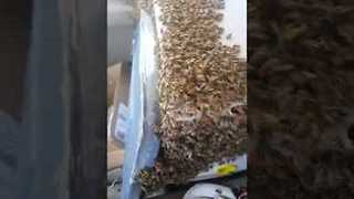 Man Drives Home With Swarm of Bees Loose Inside His Truck - Video