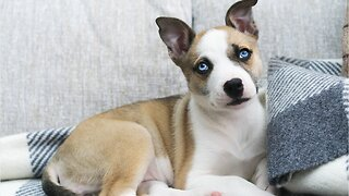 Do Dogs Know That We're Suckers For 'Puppy Dog Eyes'?